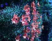 Цветы, пышные букеты,  Пионы с лилии...