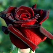 Саженцы роз в Минске