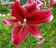 луковицы ЛИЛИИ разнообразных расцветок. Большой выбор