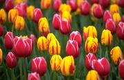 Продам тюльпаны к 8 марта