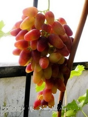 Продам саженцы винограда,  двухлетки.