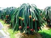 Питайя или Питахайя - сладкий кактус