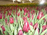 Продажа тюльпанов и гиацинтов к 8 марта