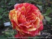 Предлагаю саженцы роз, выращенных в Беларуси,  возраст -2года
