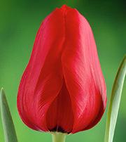 Тюльпаны оптом из Голландии