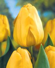 Тюльпаны оптом в Гомеле от 9900 р./шт.