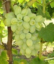 Саженцы плодового винограда из питомника.