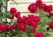 Розы корнесобственные из питомника.