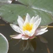 Продам нимфеи (водяные лилии)для пруда.