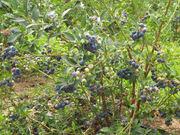 Саженцы трехлетней голубики садовой,  клюквы,  брусники